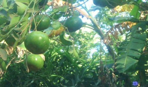 Las temporadas de frutas en Nicaragua