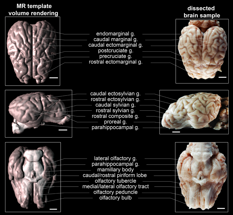 Frontiers | A stereotaxic, population-averaged T1w ovine brain atlas including cerebral morphology and tissue volumes | Frontiers in Neuroanatomy