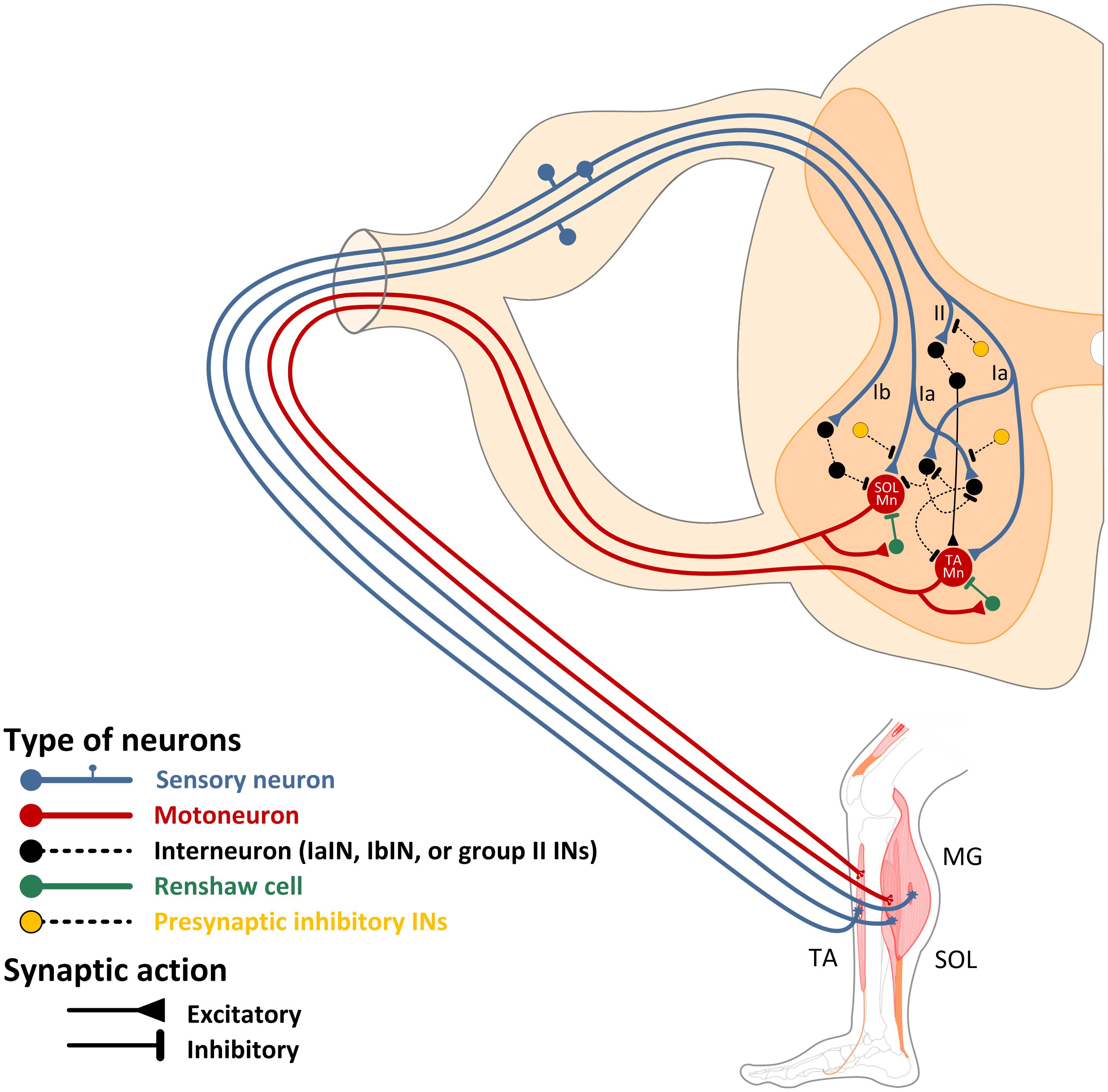 Agnes One Step Gamma Frontiers Spinal Control Of Locomotion Individual Neurons