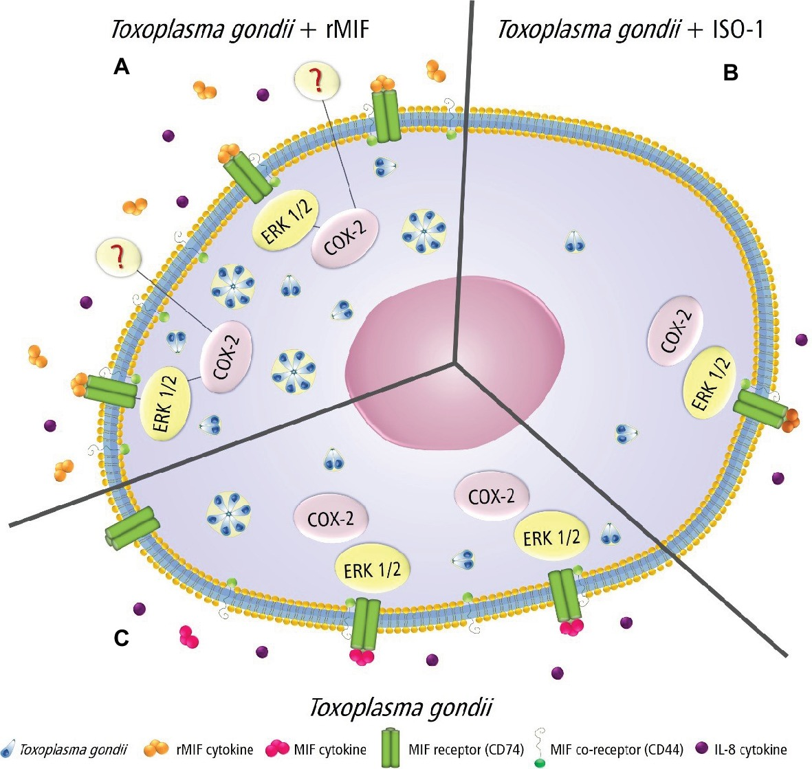 Christian Materne Und Judith Williams Frontiers Increased Toxoplasma Gondii Intracellular