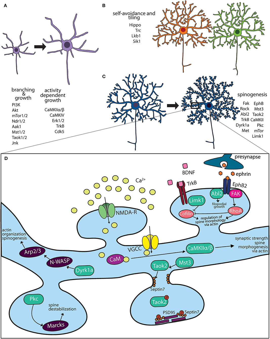 Frontiers Kinase Signaling In Dendritic Development And Disease Cellular Neuroscience