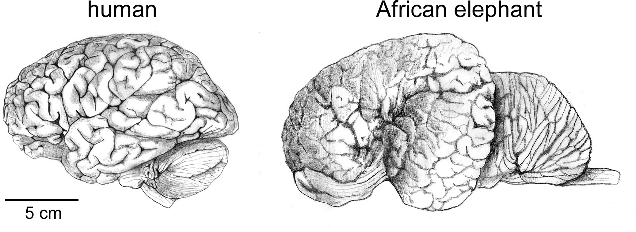 Frontiers The Human Brain In Numbers A Linearly Scaled Up Primate Brain Human Neuroscience