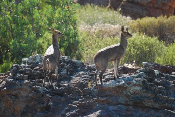 Kilpspringers on the rocks in the Cederberg Mountains.