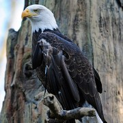 Bald Eagle - Shutterstock