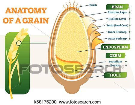 Clipart of Grain anatomical layers vector illustration diagram