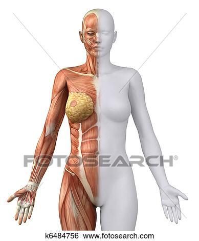 Stock Illustration of White female figure in anatomical position - anatomical position
