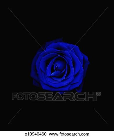 Blue rose (Rosa sp) against a black background Stock Photography