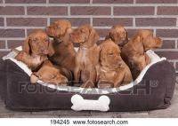 Stock Image of Hungarian Vizsla. Six puppies (6,5 weeks ...
