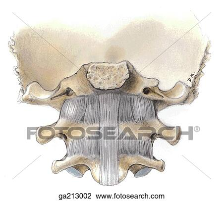 Clip Art of Anterior view of the ligaments of the atlanto-occipital