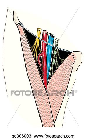 Drawing of Femoral triangle and contents Note that the femoral - femoral triangle