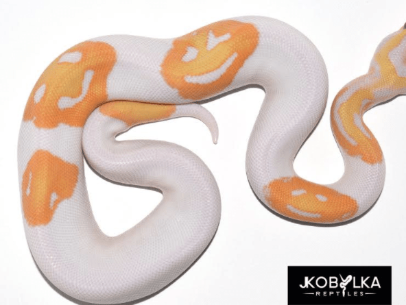 A Python Owner Just Bred An Emoji Ball Python And It39s Amazing