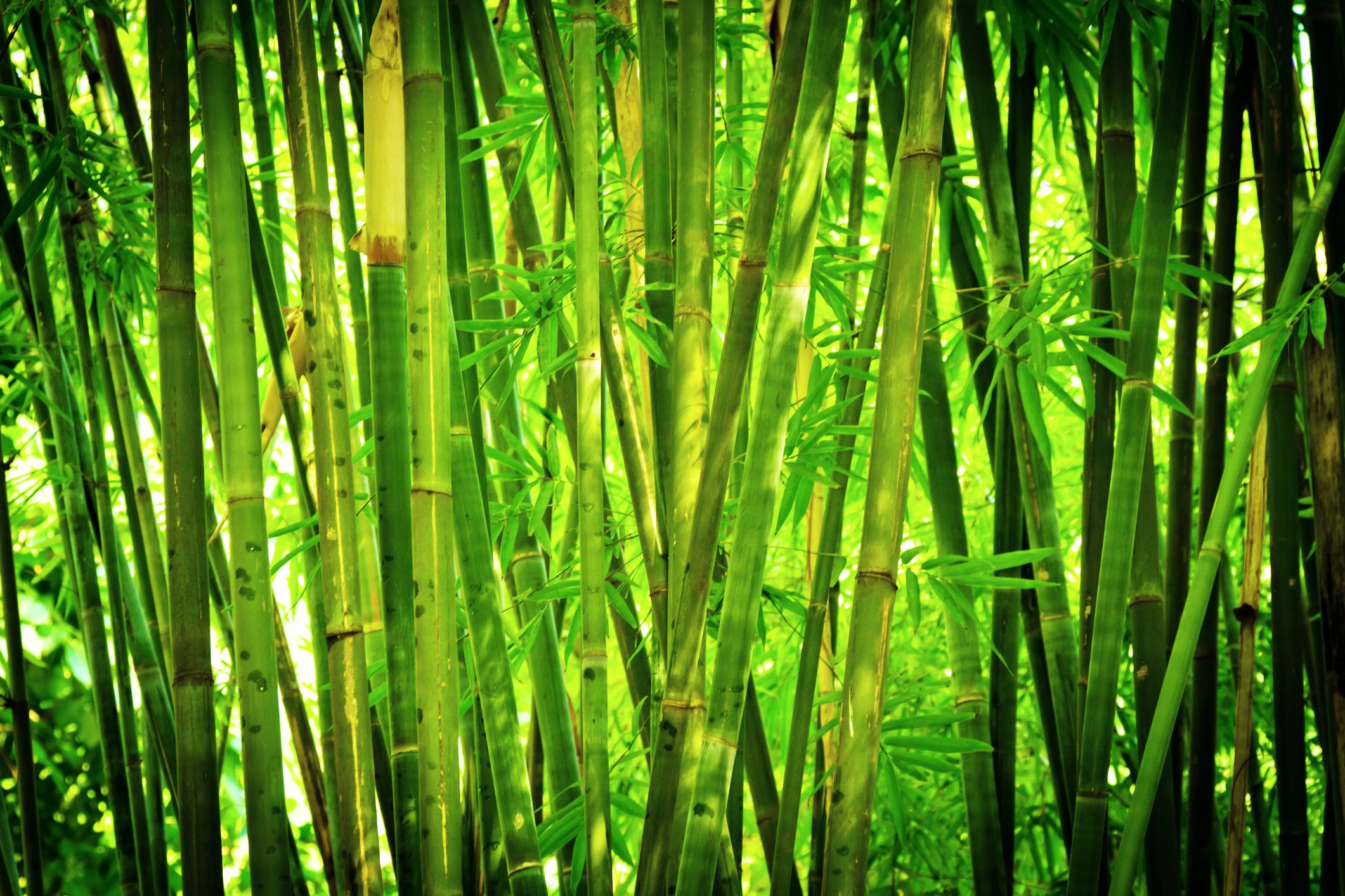 Forest Animated Wallpaper Bamboo Privacy Hedges Are They Good Noise Barriers