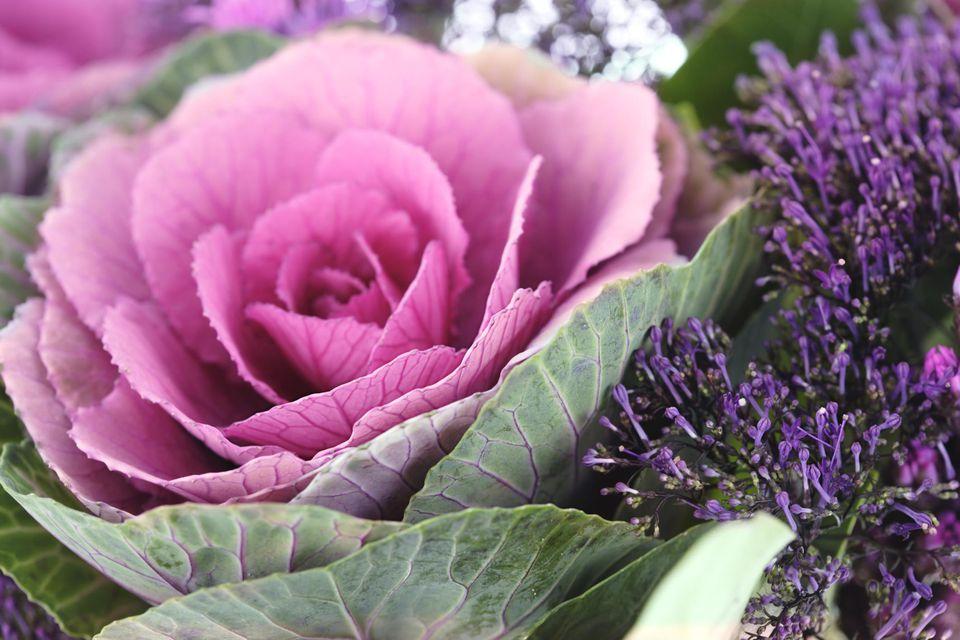 how to grow ornamental kale
