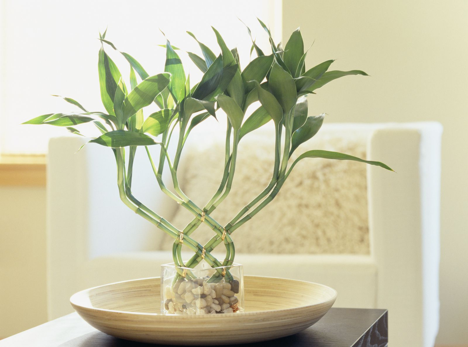 Wohnzimmer Pflanze Feng Shui Lucky Bamboo Meaning And Use For Good Feng Shui
