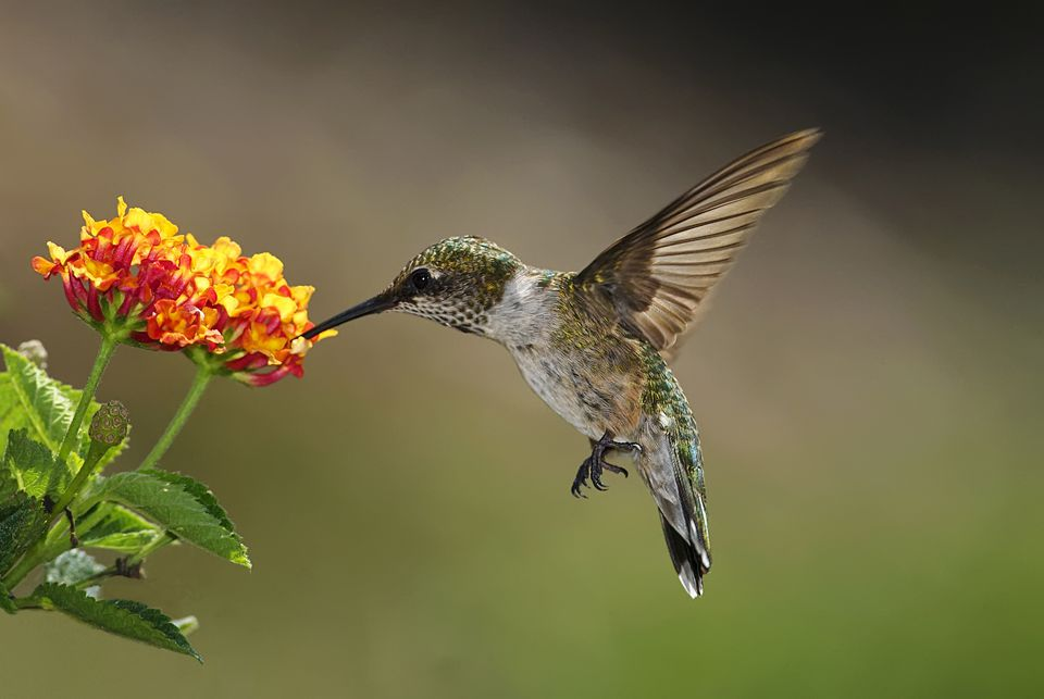 Free Fall Bc Nature Wallpaper Flowers To Attract Hummingbirds Best Choices