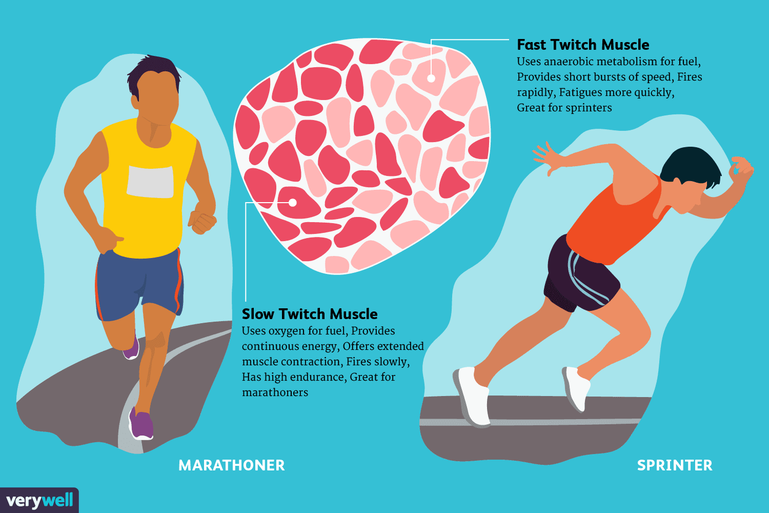 Fast And Slow Twitch Muscle Fiber Types