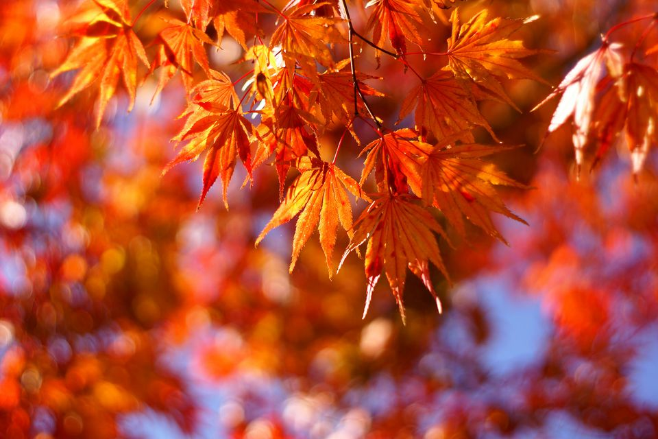 Fall Scenes For Computer Wallpaper Get To Know A Variety Of Maple Tree Species