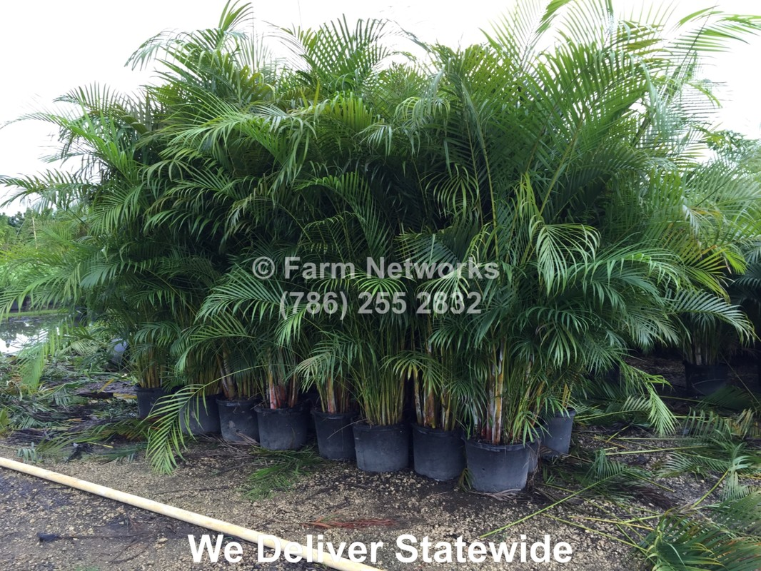 Palm Areca 15 Gallon Areca Palm Trees Florida Hedge Plants Clusias