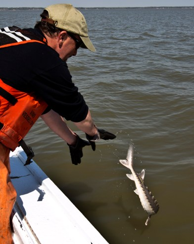 Marine scientist Patrick McGrath returns the tagged Sturgeon to the James River.