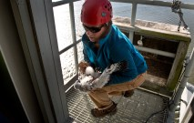 Libby Mojica-Research Biologist quickly picks up one of two Peregrine falcon chicks from their box nest before a mother Peregrine dives on her atop of the James River Bridge north tower.