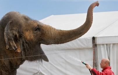 Ringling Bros. and Barnum & Bailey Circus Elephants