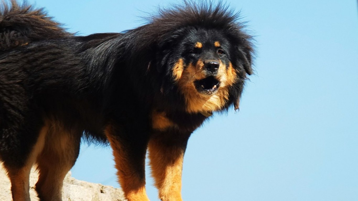 Funny Dog Iphone Wallpaper Tibetan Mastiff Pictures Full Hd Pictures