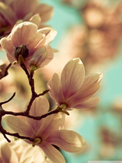 Iphone Magnolia Wallpaper | Full HD Pictures