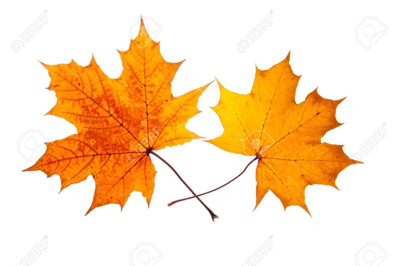 Autumn Leaf Fall Wallpaper Maple Leaves Picture 1300x866 Full Hd Wall