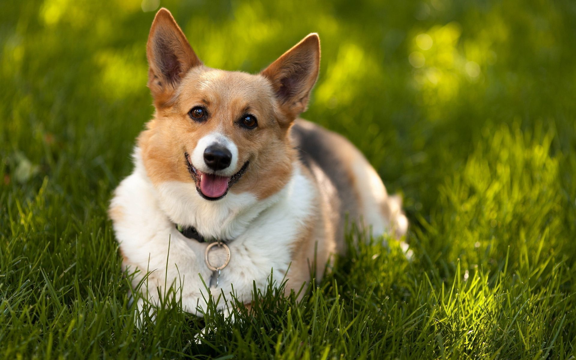 Awesome Love Quotes Hd Wallpapers Corgi Backgrounds 1920x1200 Full Hd Wall