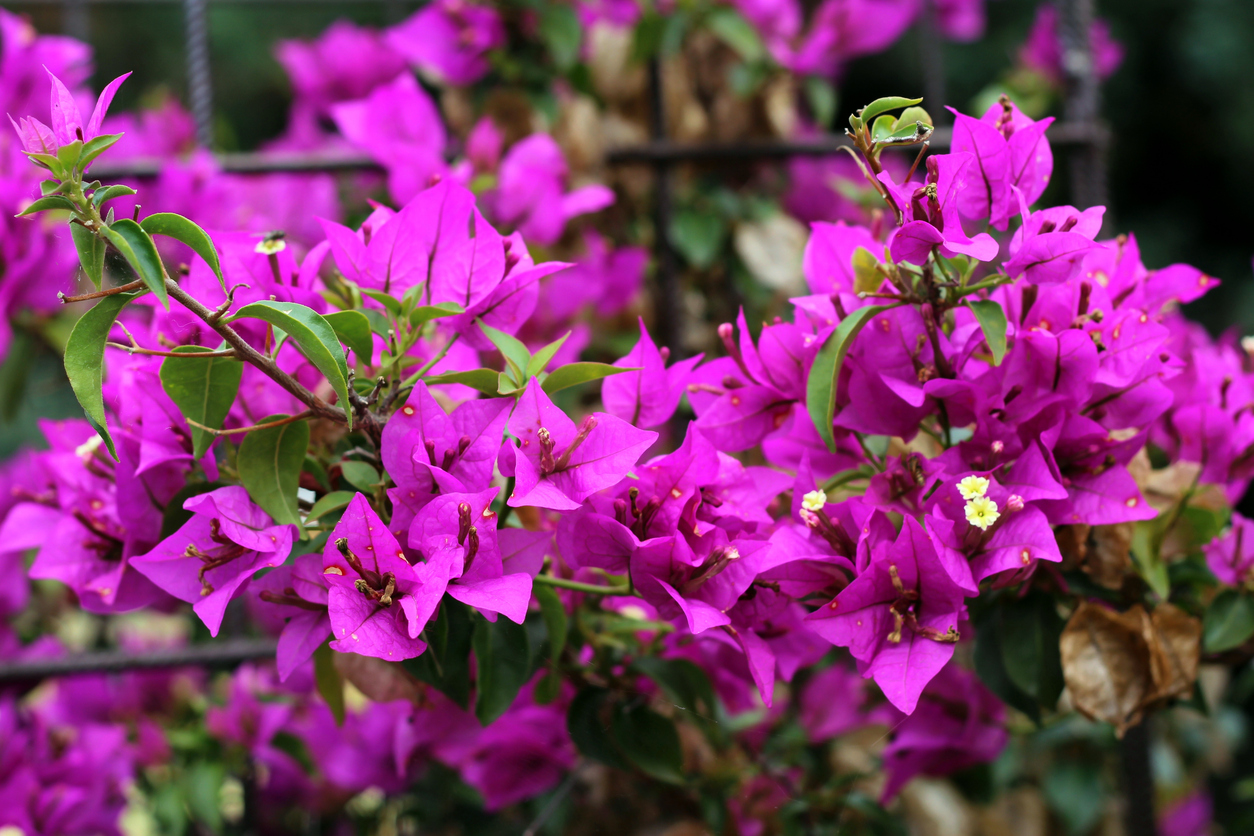 Bougainvillea Wallpaper Bougainvillea Wallpaper 1254x836 Full Hd Wall