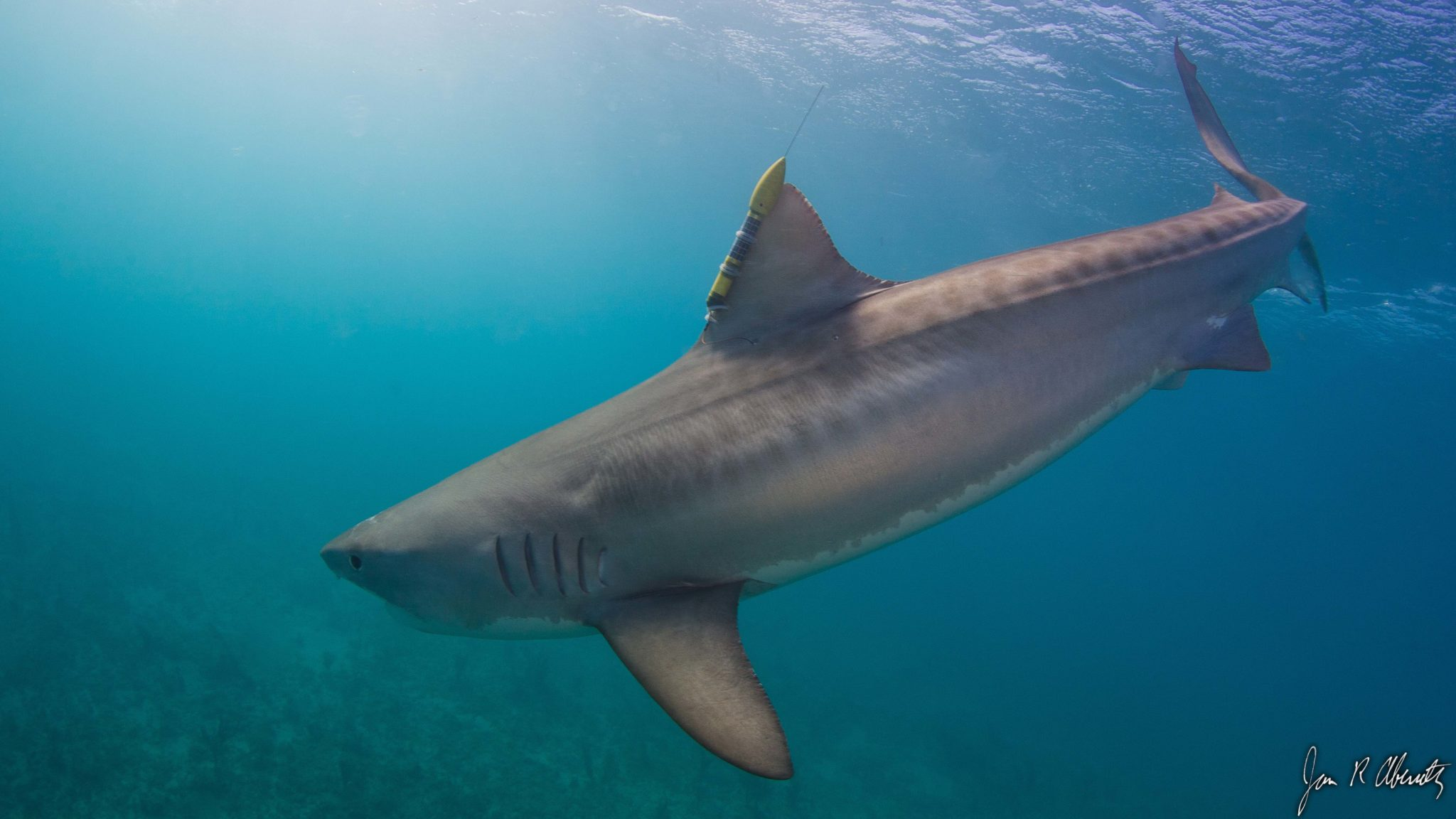 Swimming Wallpaper Quotes 25 Tiger Shark Pictures And Hd Wallpapers