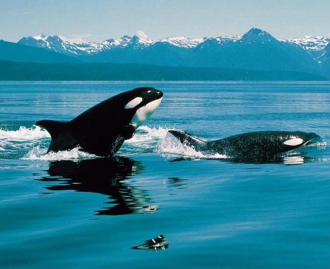 Cute Baby Tiger Wallpaper 30 Beautiful Killer Whale Pictures And Hd Wallpapers