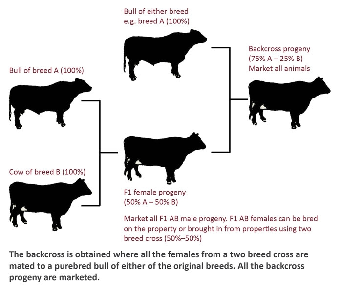 Cross breeding systems for beef cattle