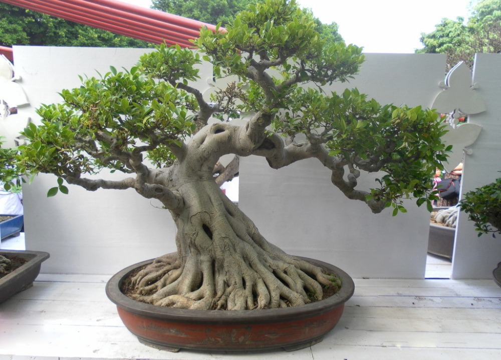 Hotel Brach Natural Falso Banyan Tree Bonsai Plantas Com Mini Bonsai