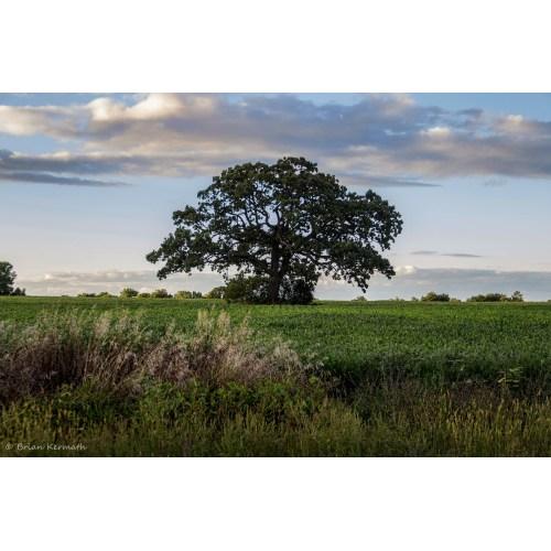 Medium Crop Of Burr Oak Tree