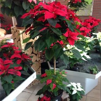 Weihnachtsstern_Weihnachtssterne_Advent_Erwitte_Gärtnerei_Enge6