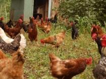 một số bệnh thường gặp ở gà