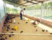 Lính trẻ phục viên quyết tâm làm giàu từ giống gà Bình Định