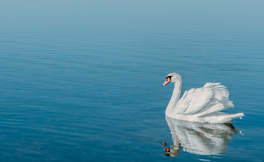 Black Wallpaper フリー写真 湖にいる白鳥でアハ体験 Gahag 著作権フリー写真・イラスト素材集