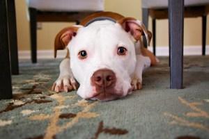 フリー写真 伏せている犬のピットブル