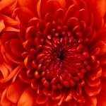 Chrysanthemum150x150