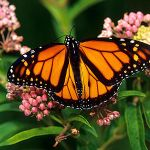 PETITION: Organizations Urge Supermarkets to Refuse GMOs in Order to Save the Butterflies