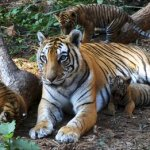Baby tiger snuggling with Mom
