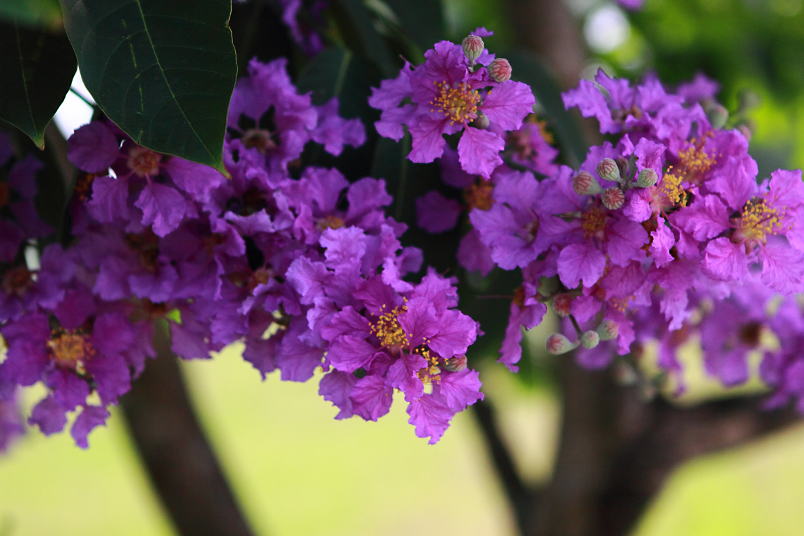 Fullsize Of Trees With Purple Flowers