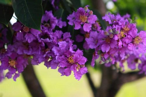 Medium Of Trees With Purple Flowers