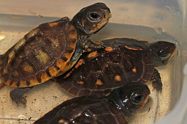 Kingsnakecom Photo Gallery Gt Box Turtles Gt Babie Boxies