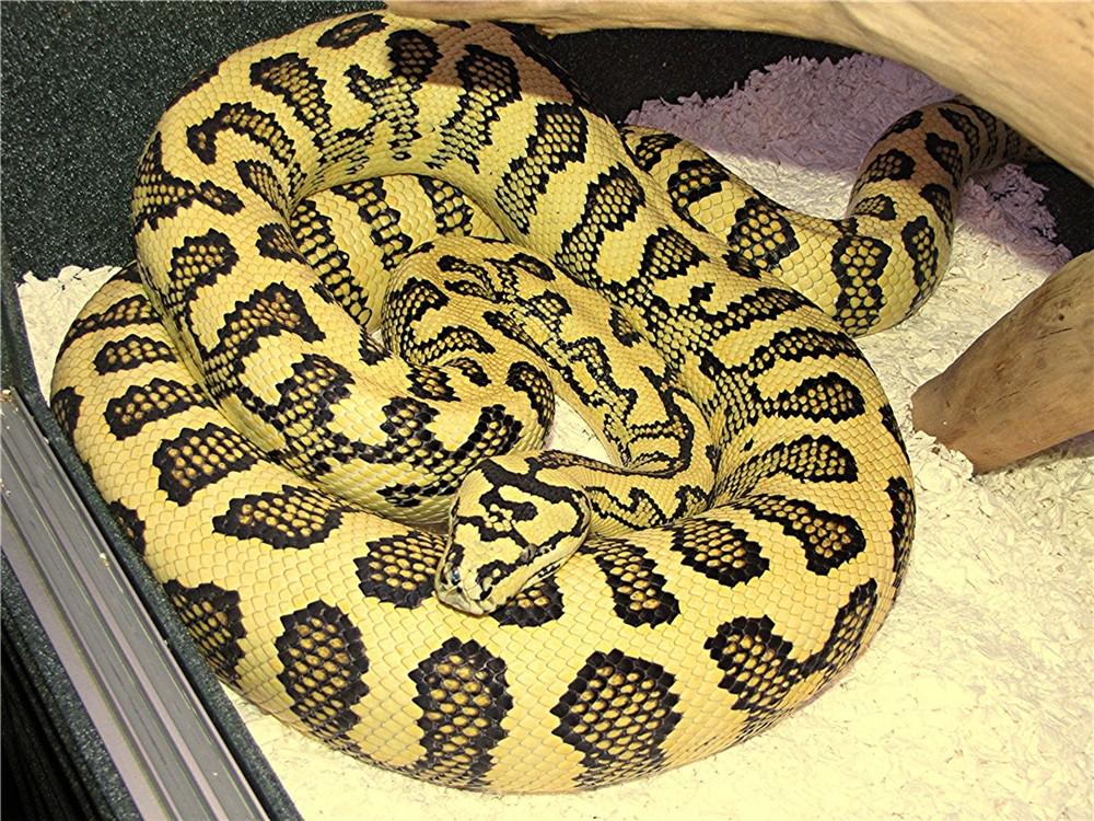 Kingsnakecom Photo Gallery Gt Carpet Diamond Pythons