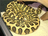 kingsnake.com photo gallery > Carpet/Diamond Pythons ...