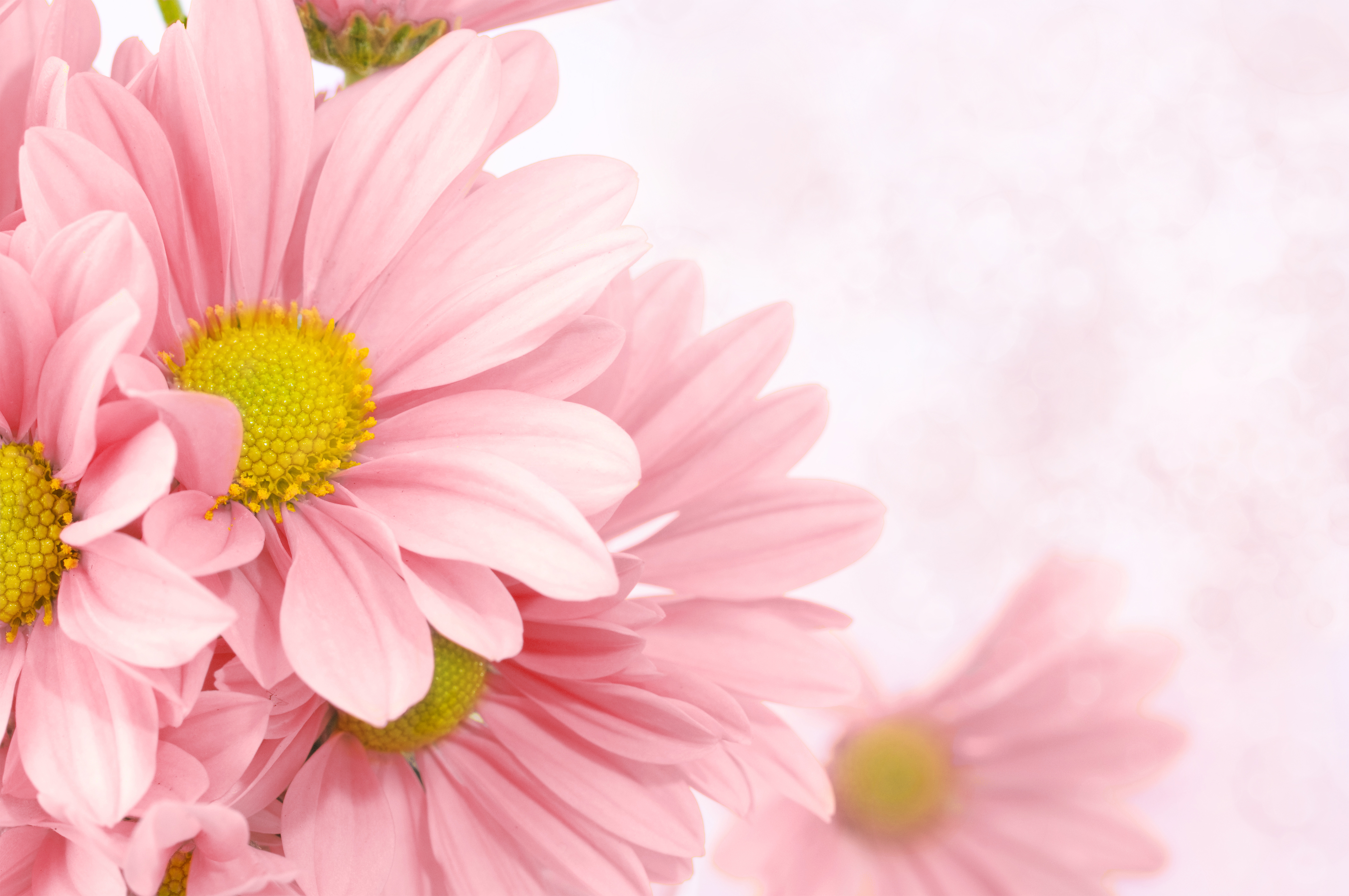 Cute Roses Wallpapers Download Soft Pink Floral Background Gallery Yopriceville High