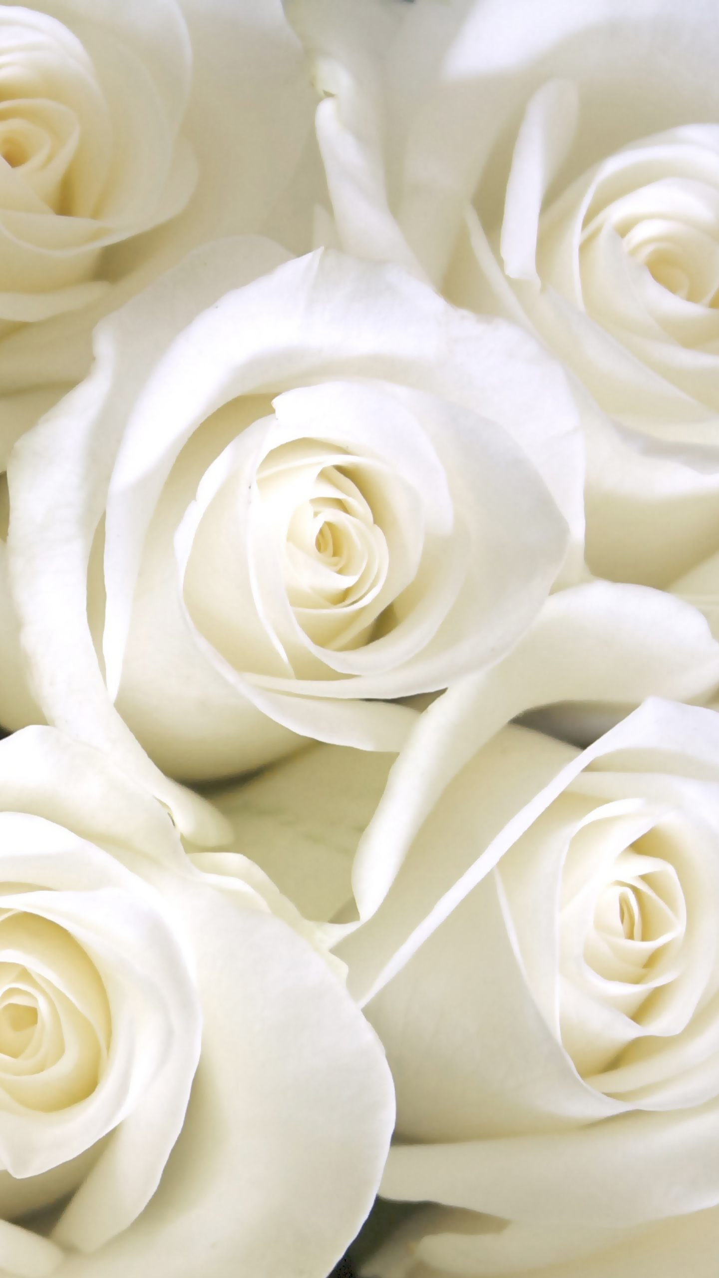 Cool 3d Flower Wallpaper Samsung Galaxy S7 White Roses Wallpaper Gallery